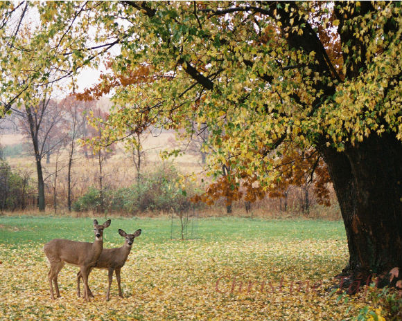 Photograph of award winning photo taken in northern wisconsin of two deer in the autumn trees.