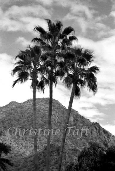 Palms in front of the mountain in  Arizona