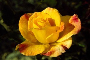 photograph of the award winning yellow rose
