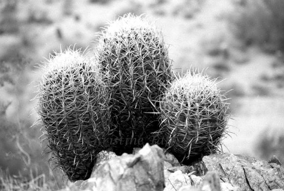 Photograph taken of Arizona's three cactus